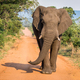 Big Elephant bull walking towards the camera. - PhotoDune Item for Sale