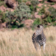 Zebra standing in the high grass. - PhotoDune Item for Sale