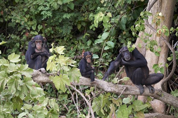Chimpanzee (Pan troglodytes) - Stock Photo - Images