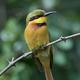 Little bee-eater (Merops pusillus) - PhotoDune Item for Sale