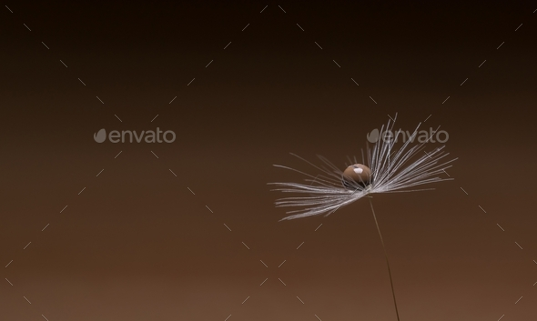 A Water Drop on a Dandelion Flower Seed - Stock Photo - Images