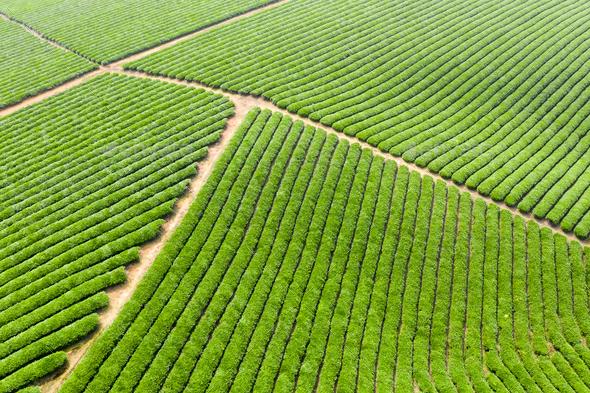 aerial view of tea plantation landscape - Stock Photo - Images