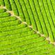 tea plantation closeup - PhotoDune Item for Sale