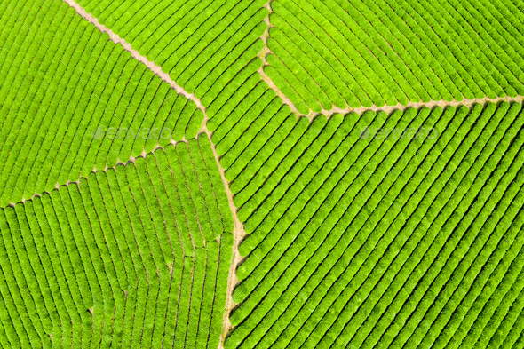 aerial view of spring tea plantation - Stock Photo - Images