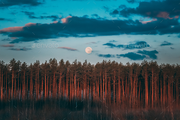 Full Moon Rising Above Pine Forest Landscape In Belarus Or Europ - Stock Photo - Images