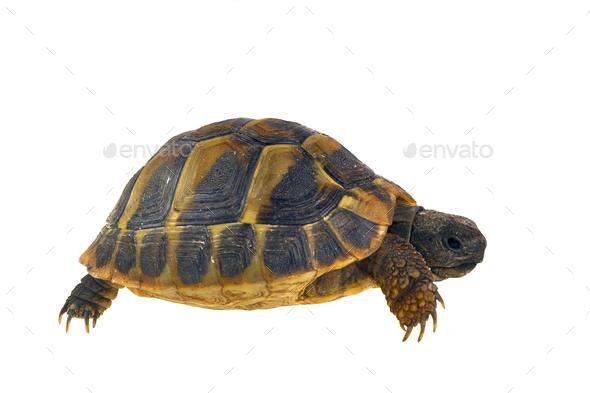 Hermann's tortoise (Testudo hermanni) isolated on white background - Stock Photo - Images