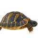 Hermann's tortoise (Testudo hermanni) isolated on white background - PhotoDune Item for Sale