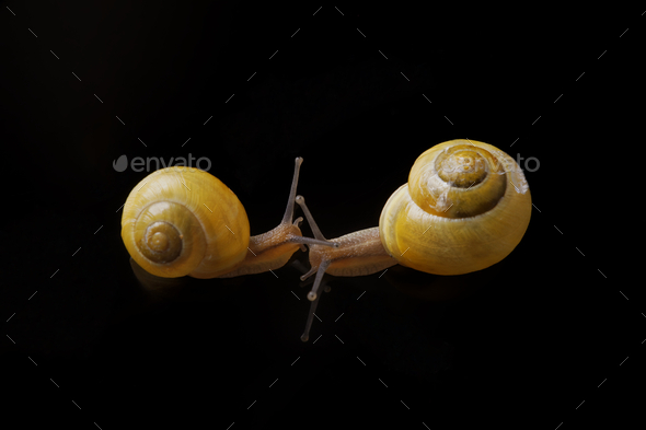 Yellow snails posing on black background - Stock Photo - Images