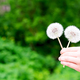 Child holds dandelion in spring garden. Springtime. Little baby in spring landscape background - PhotoDune Item for Sale