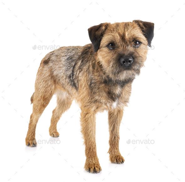 border terrier in studio - Stock Photo - Images