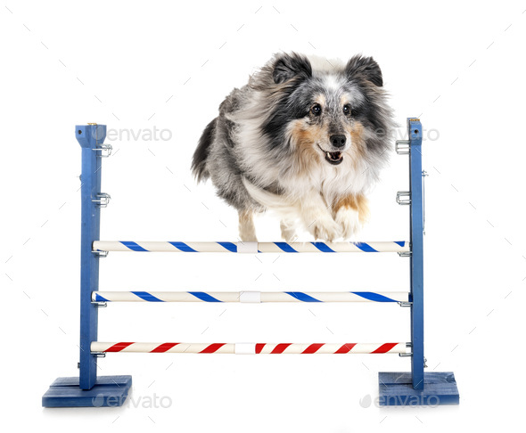 agility and little dog - Stock Photo - Images