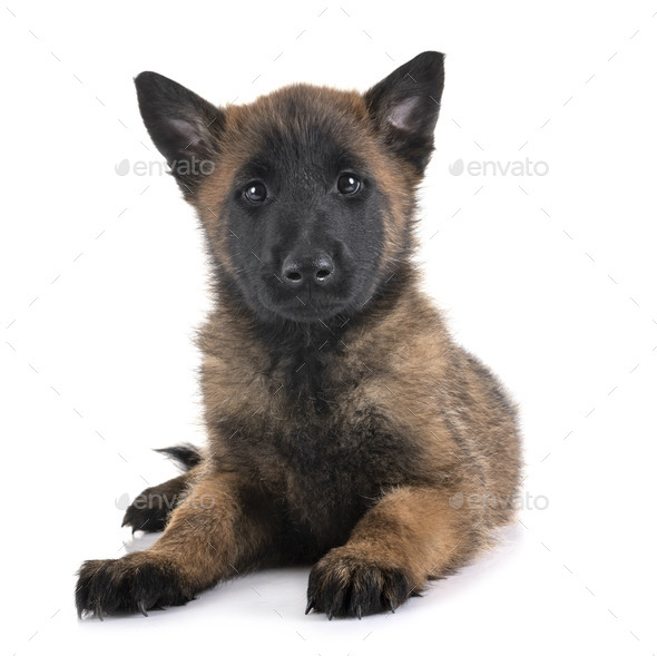 puppy malinois in studio - Stock Photo - Images