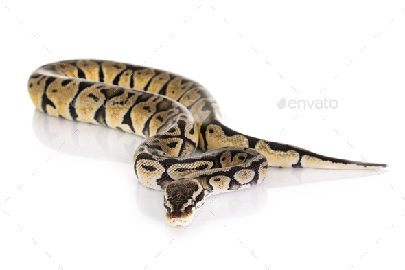 Ball python in studio - Stock Photo - Images