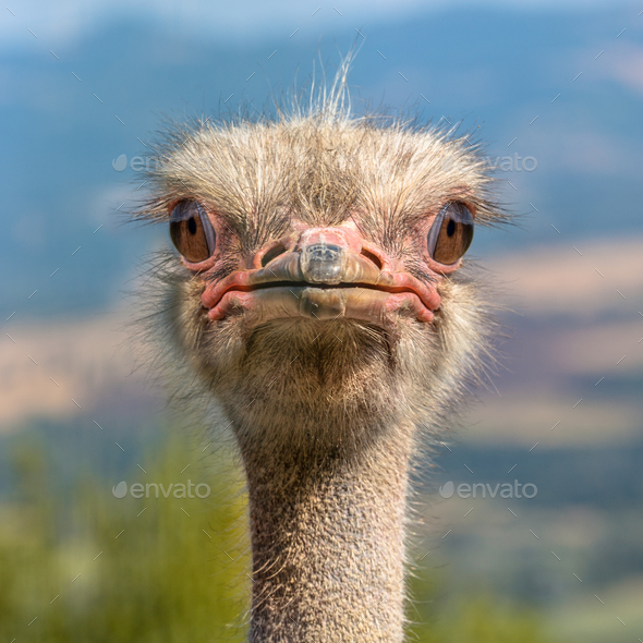 Head of an Ostrich frontal view - Stock Photo - Images
