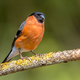Eurasian bullfinch male - PhotoDune Item for Sale