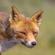 Red Fox cute portrait - PhotoDune Item for Sale