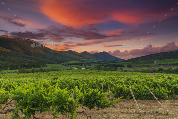 Panoramic view of a vineyard in the Tuscan countryside - Stock Photo - Images