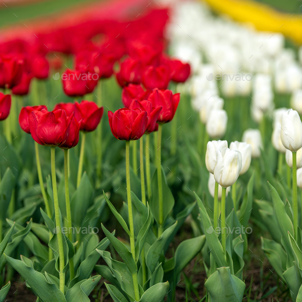 Spring fields of blooming tulip. Beauty outdoor scene - Stock Photo - Images