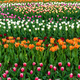 Spring fields of blooming tulip. Beauty outdoor scene - PhotoDune Item for Sale