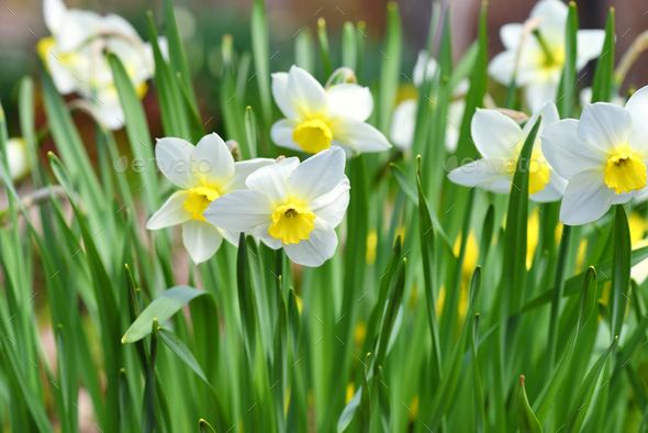Narcissus Flower Daffodils Spring Flowers In The Garden Stock
