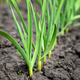 Close-up of the garlic plantationl. Selective focus - PhotoDune Item for Sale