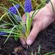 Gardener planting Muscari flowers in the garden. Spring garden w - PhotoDune Item for Sale
