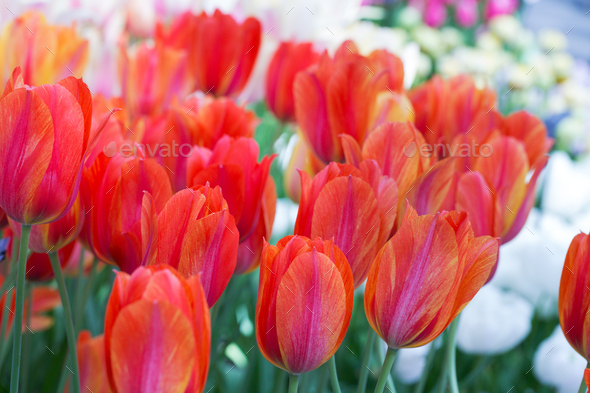 Background of colorful fresh tulips - Stock Photo - Images