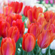 Background of colorful fresh tulips - PhotoDune Item for Sale