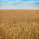 Wheat field under blue sky - PhotoDune Item for Sale
