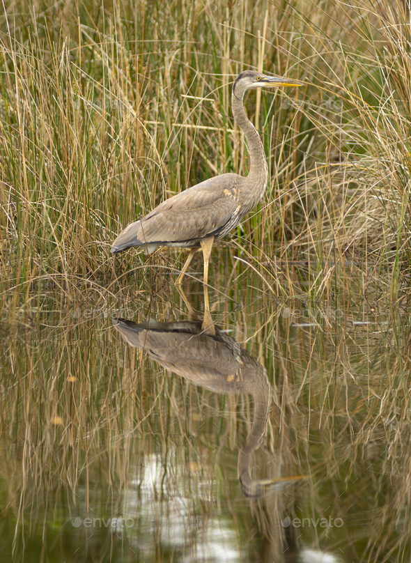 Blue Heron Wading in Water at Alligator River Refuge - Stock Photo - Images