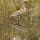 Blue Heron Wading in Water at Alligator River Refuge - PhotoDune Item for Sale