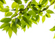 Green leaves branch isolated with copy space on white background - PhotoDune Item for Sale