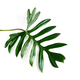 Tropical leaf isolated on white background - PhotoDune Item for Sale