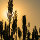 Close up Sorghum in field agent sunset-2 - PhotoDune Item for Sale