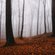Orange leaves in misty forest - PhotoDune Item for Sale