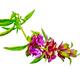 Bergamot with pink flowers - PhotoDune Item for Sale