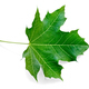 Leaf maple green - PhotoDune Item for Sale
