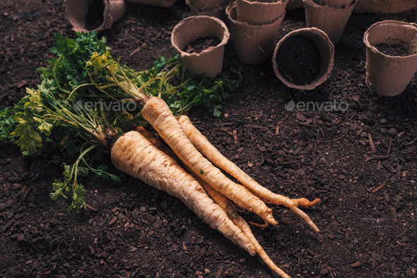 Organic parsley growing concept with freshly harvested root - Stock Photo - Images