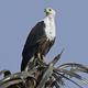 African fish eagle (Haliaeetus vocifer), - PhotoDune Item for Sale