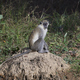 Vervet monkey (Chlorocebus pygerythrus) - PhotoDune Item for Sale