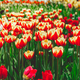 Full frame red and orange tulips spring background - PhotoDune Item for Sale