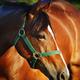 Chestnut horse - PhotoDune Item for Sale
