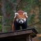 Japan panda in the zoo - PhotoDune Item for Sale