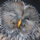 Gray Owl in the zoo - PhotoDune Item for Sale