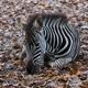 Zebra in a zoo - PhotoDune Item for Sale