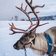 Portrait of a reindeer with massive antlers - PhotoDune Item for Sale
