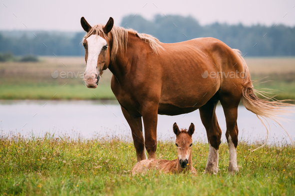 Adult Brown Horse And Foal Young Horse Grazing On Green Meadow N - Stock Photo - Images