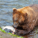 Bear on Alaska - PhotoDune Item for Sale