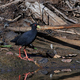 Black crake (Amaurornis flavirostra) - PhotoDune Item for Sale