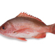 Single Northern red snapper - PhotoDune Item for Sale